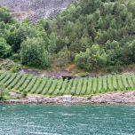 Obstanbau im Nærøyfjord