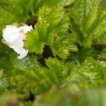Moltebeerenblüte
