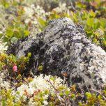 Detailbeobachtung Hardangervidda