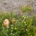 Pilze Hardangervidda