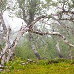 Mystische Birken Hardangervidda