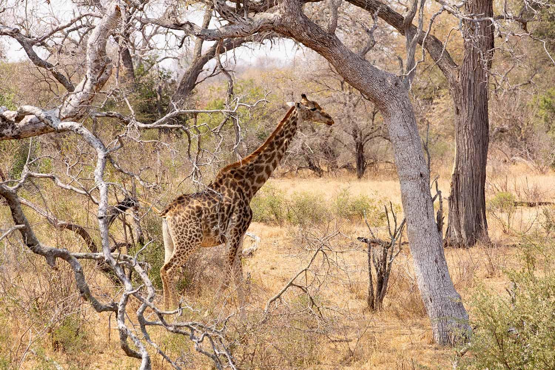 Greenfire Game Lodge, Giraffe