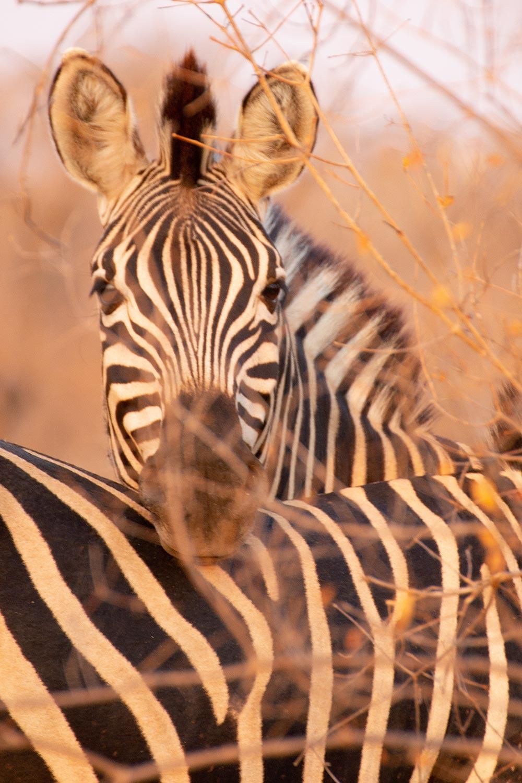 Balule Game Reserve, Zebras