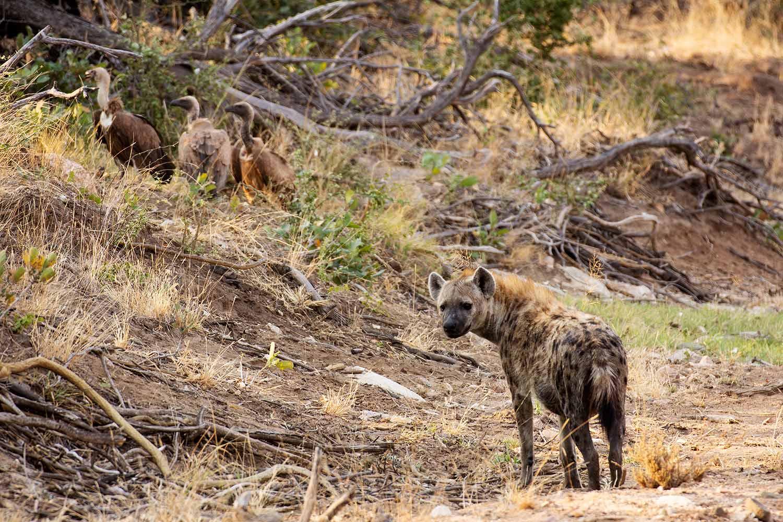 Geier und Hyäne