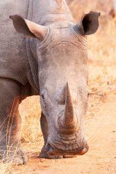 Nashorn, Balule Game Reserve