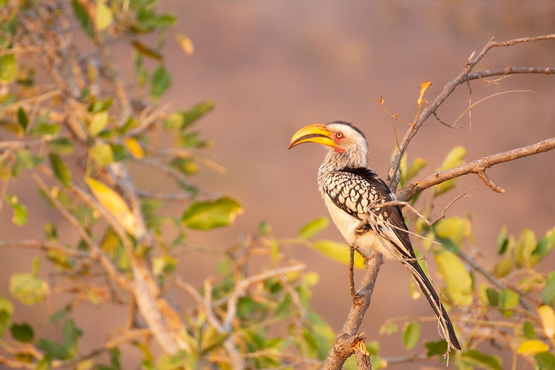 Flying Banana, Balule Game Reserve, Südlicher Gelbschnabeltoko