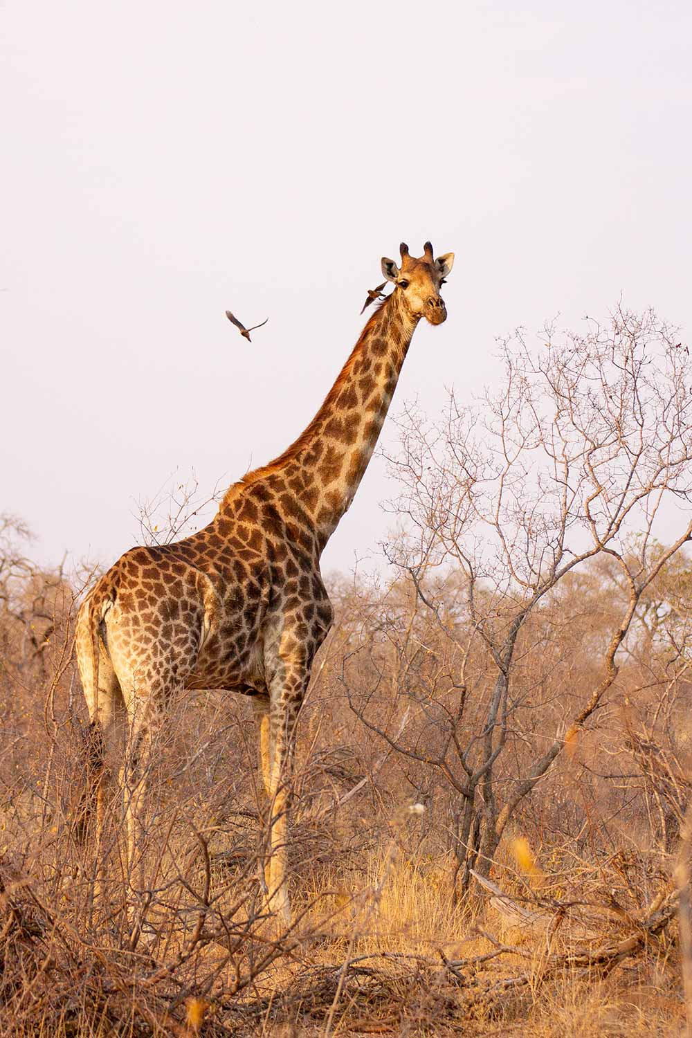 Greenfire Game Lodge, Balule Game Reserve, Giraffe