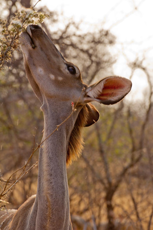 Balule Game Reserve, Kudu