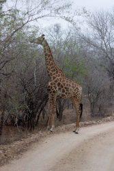 Giraffe auf unserem Weg