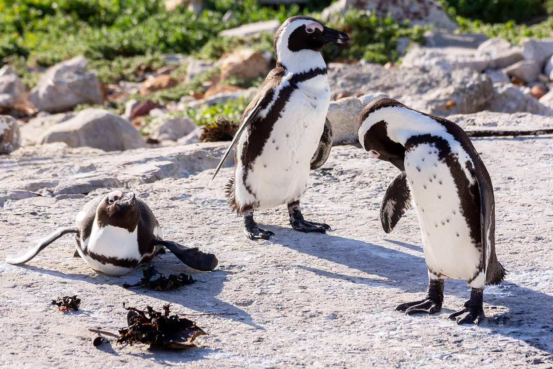 Stony Point Nature Reserve, Brillen Pinguin